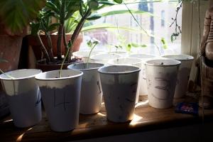 Alex Conrad sunflower sprouts 1