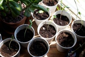 Alex Conrad sunflower sprouts 2