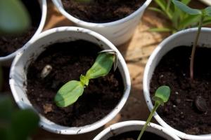Alex Conrad sunflower sprouts 3