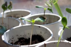 Alex Conrad sunflower sprouts 4
