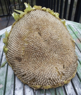 Alex Conrad sunflower harvest 1